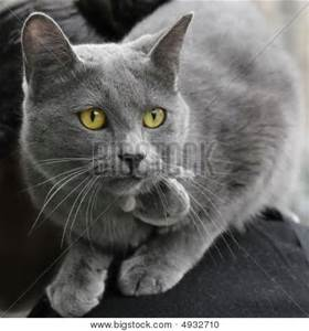 grey short hair cat